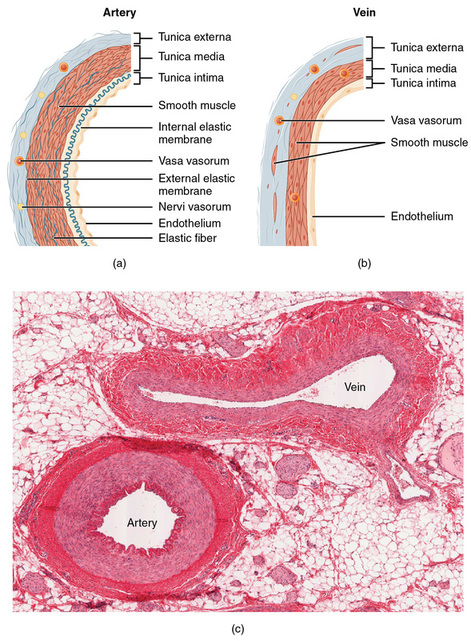 Blood Vessels - Chapter 11 The Cardiovascular System
